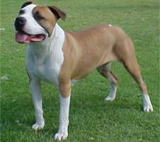 Picture of a Amstafford Pit bull