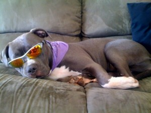 A pit bull relaxing on couch